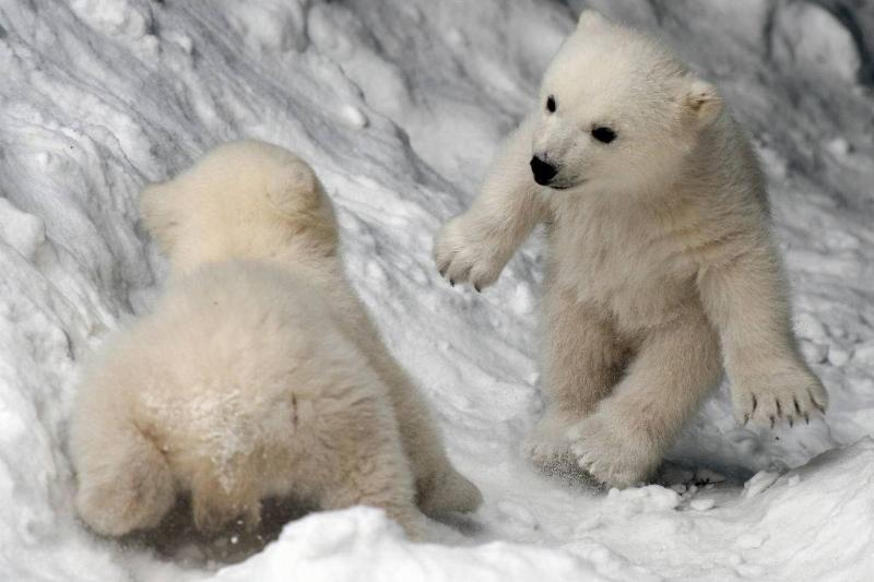 Picture of polar bear