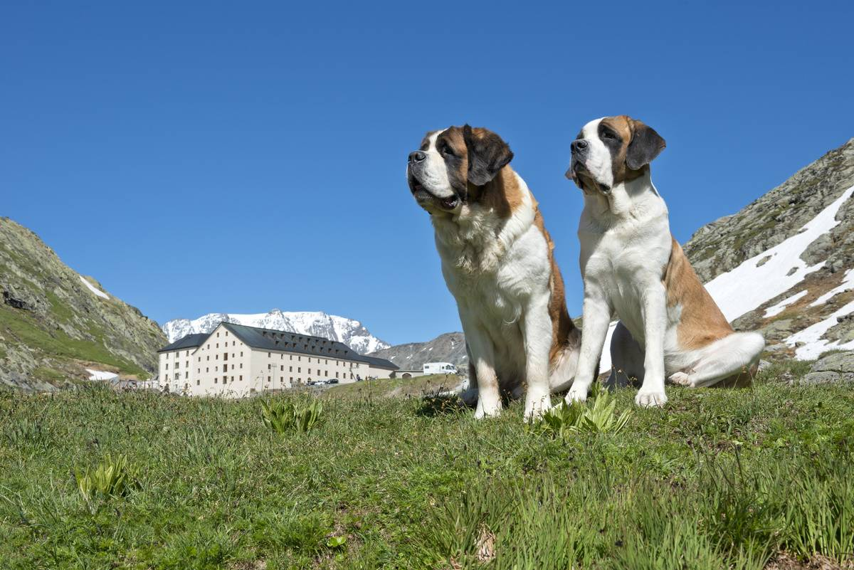 Saint Bernards Need To Learn Their Size Early On