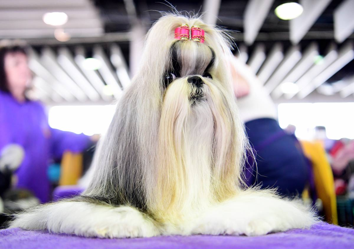 Shih Tzus Have A Way Of Getting Their Way