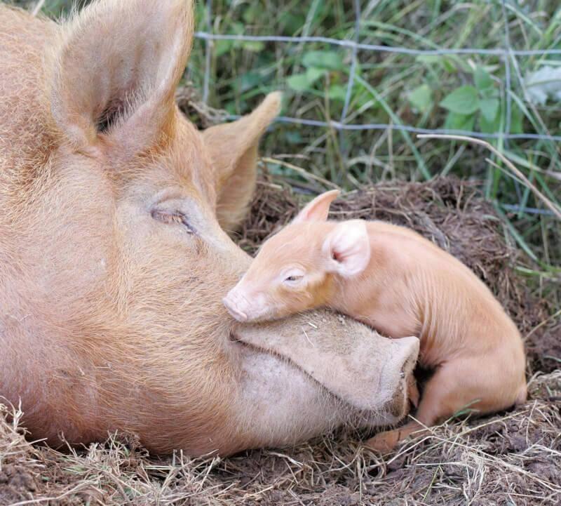 pigs-asleep-88618