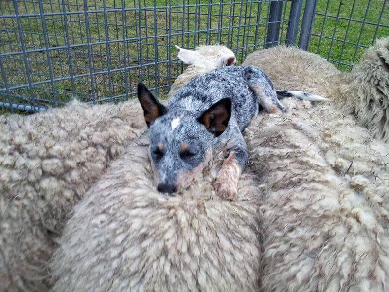sheepdog-sleeping-66160