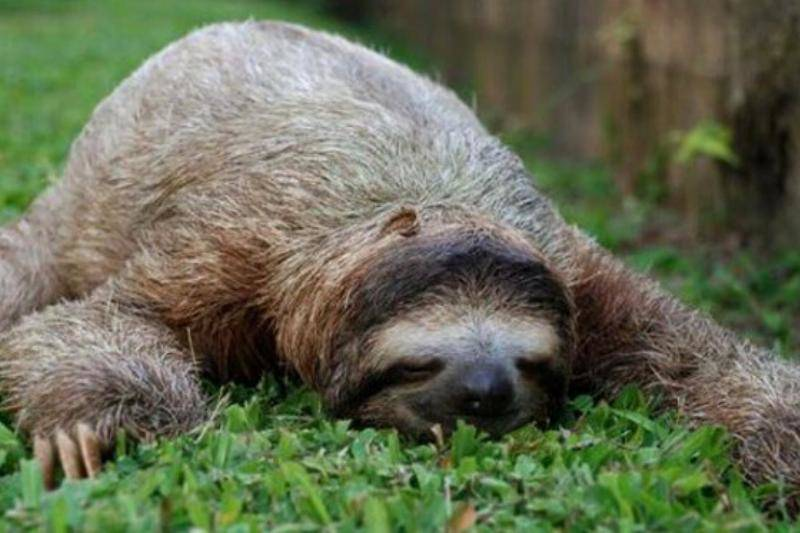 sloth-asleep-28919