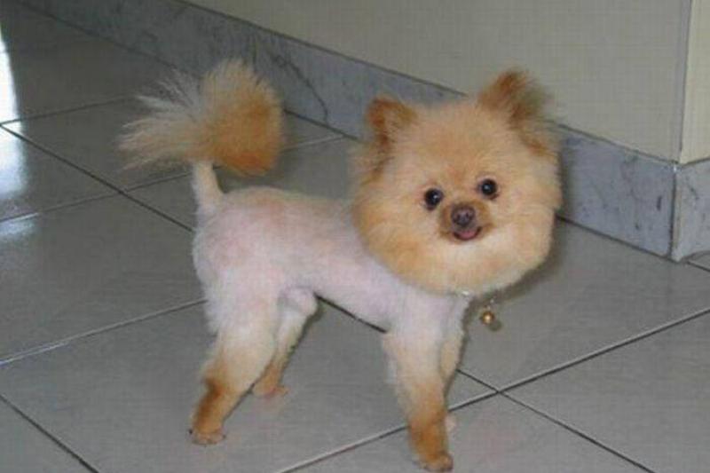 doggie-haircut