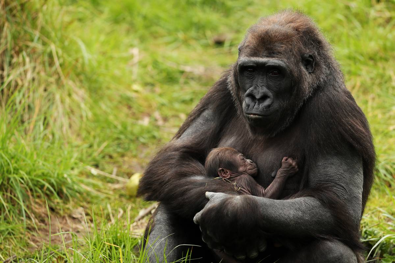 gorilla-mother