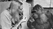 koko-the-gorilla