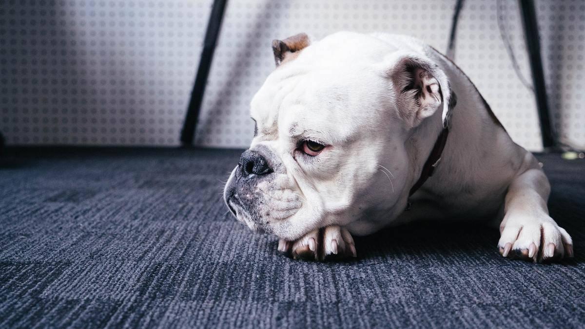 pouty-dog