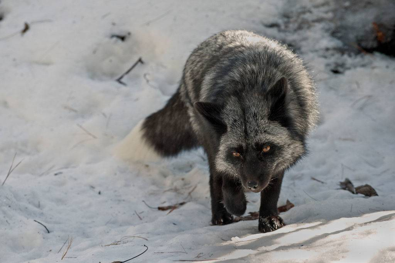 silver-fox-12