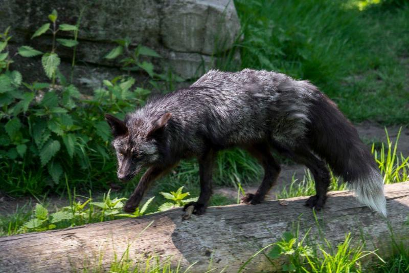 silver-fox-13