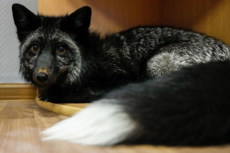 silver-fox-18