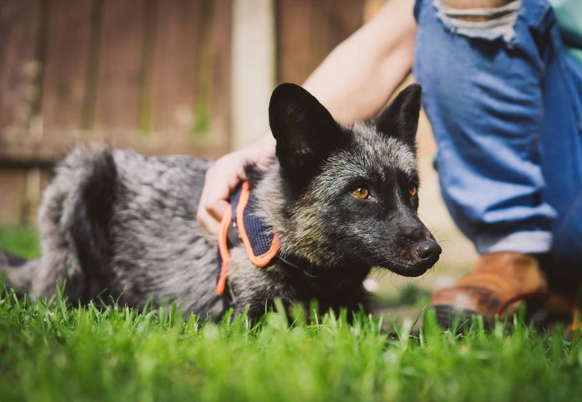 silver-fox-21