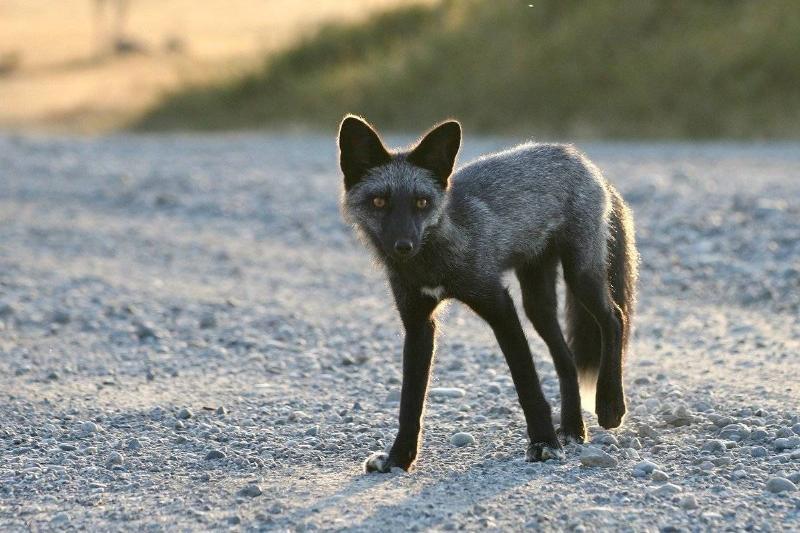 silver-fox-24