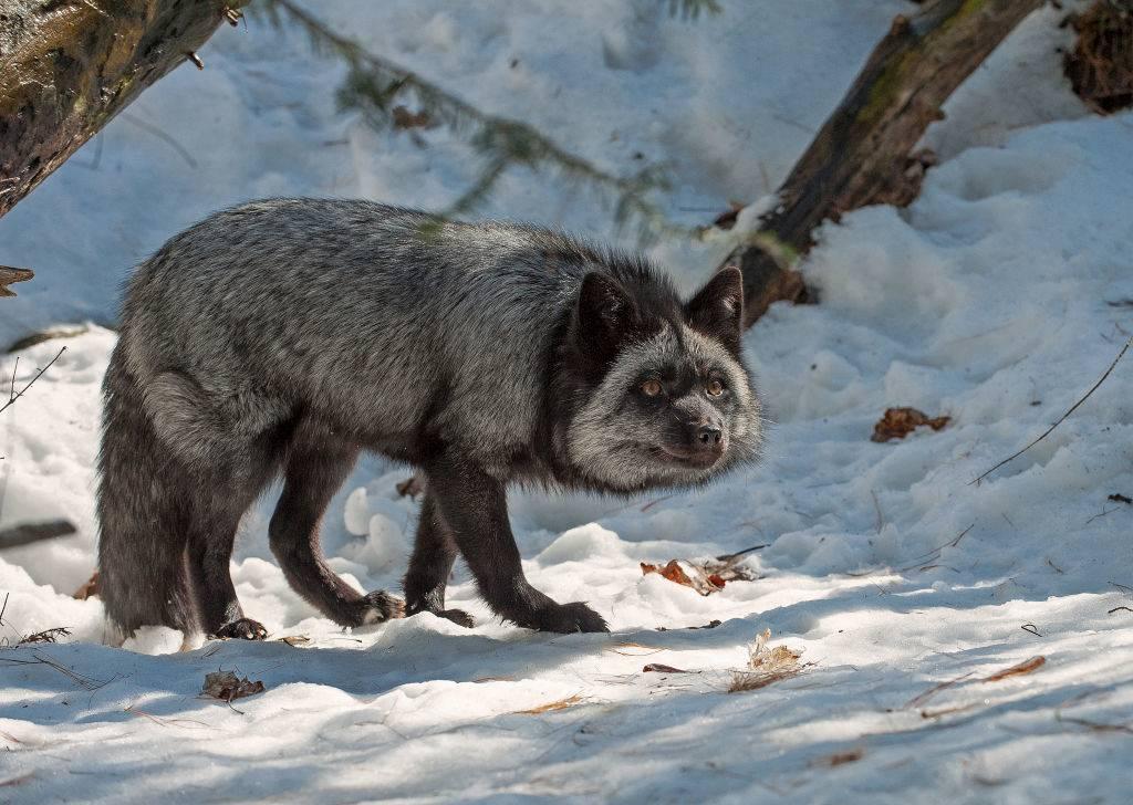 silver-fox-3