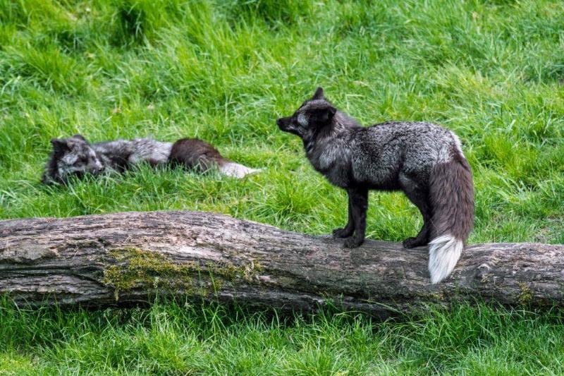 silver-fox-5