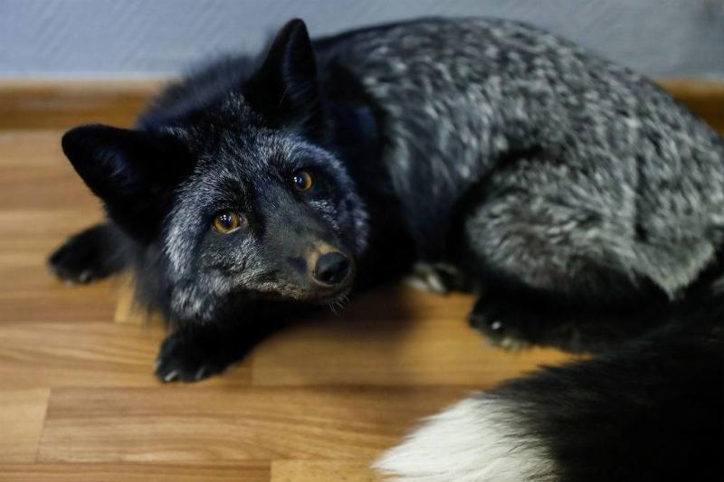 silver-fox-8