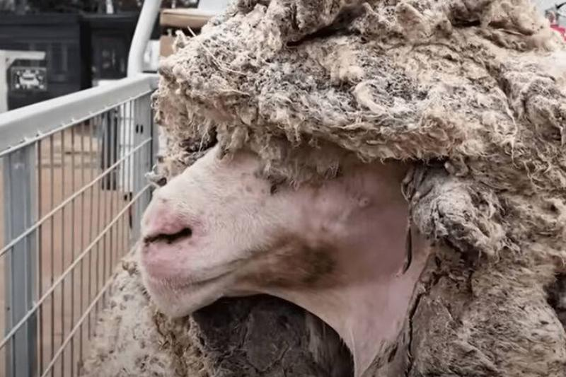 Edgars-Mission-Chris-the-unshorn-sheep-768w
