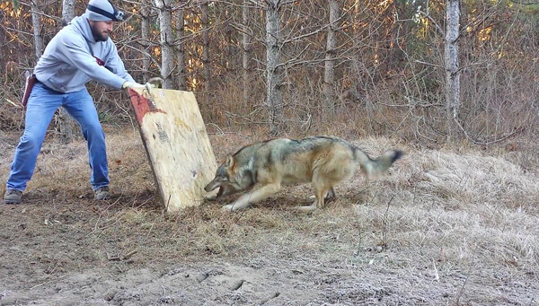 1-Man-met-a-trapped-timber-wolves.jpg