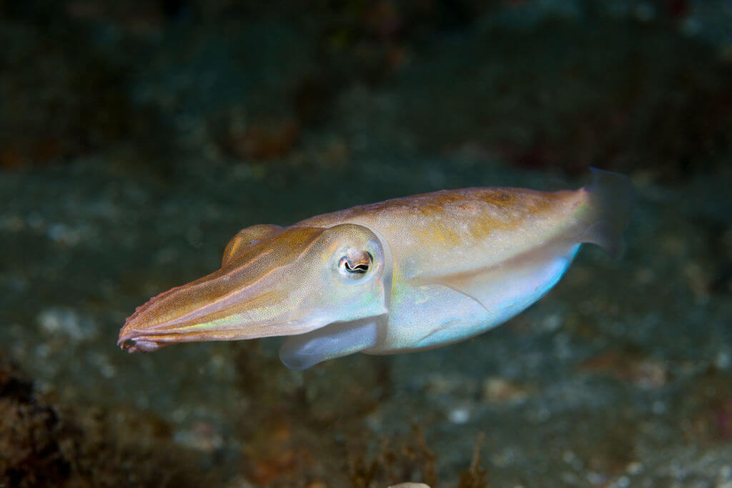 The Clever Cuttlefish