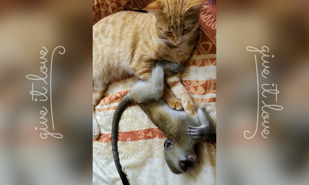 16-orphaned-baby-monkey-makes-unlikely-friends-horace.jpg