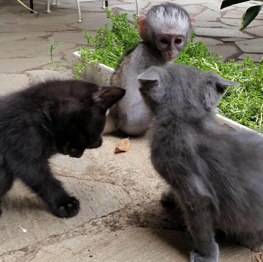 3-orphaned-baby-monkey-makes-unlikely-friends-horace.jpg