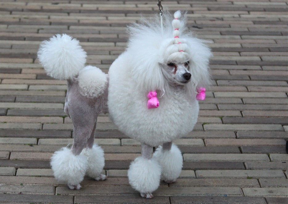 A Dog with a funny Haircut