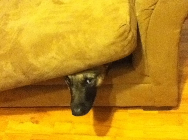 Another Dog Hiding In a Couch Cushion