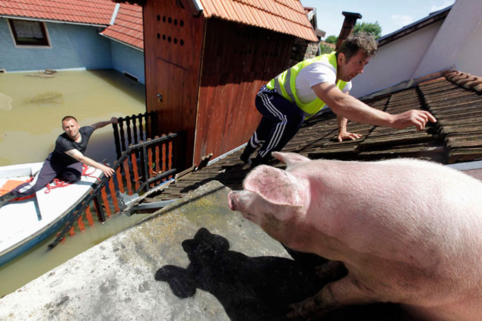 Saving A Pig From A Roof