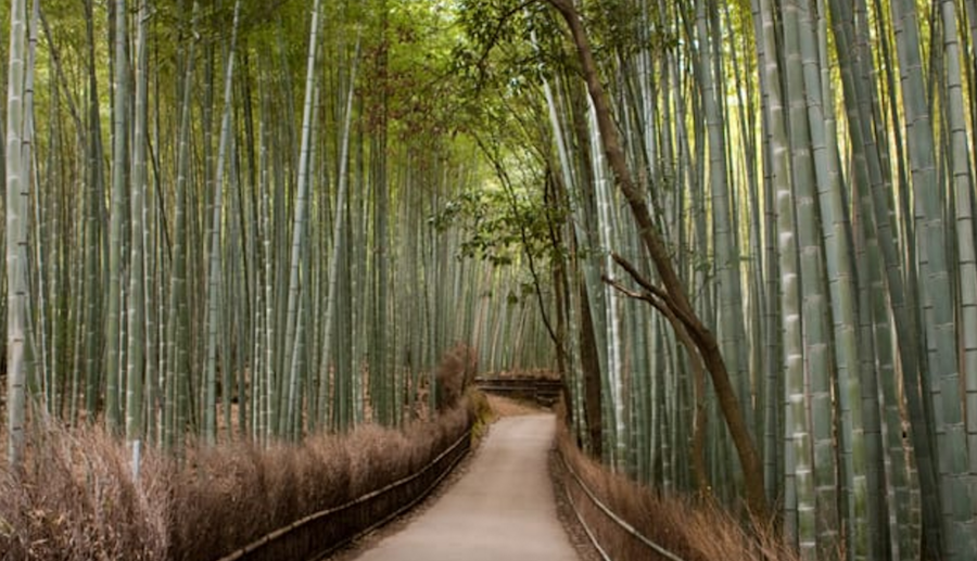 Bamboo groves Of Arashiyama in Kyoto, Japan