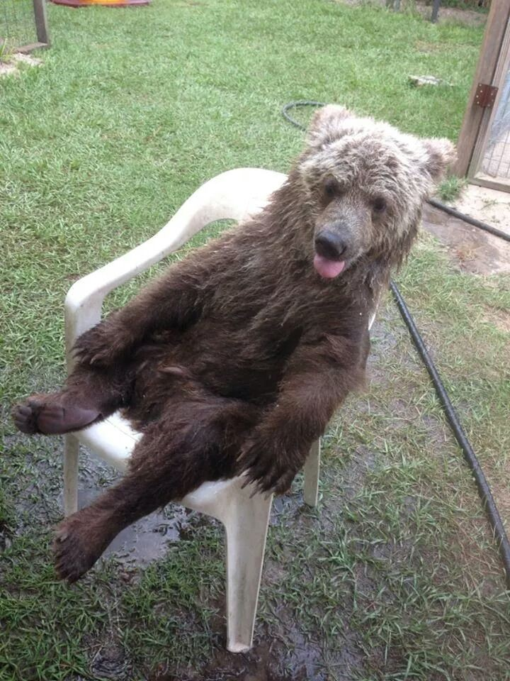 Bear Acting Like A Human - Sitting in a Chair