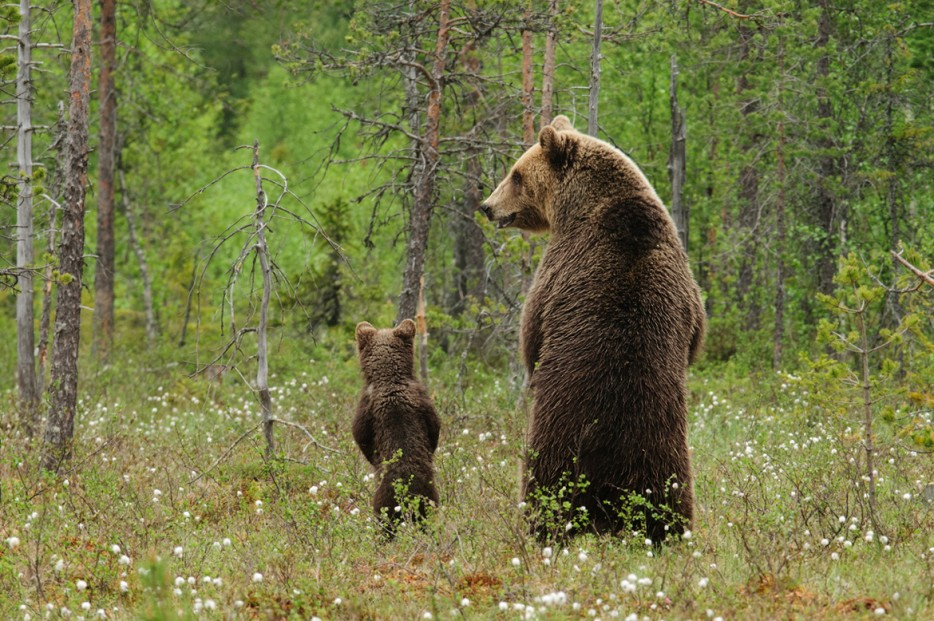 Bears Peeing In The Woods Standing Up