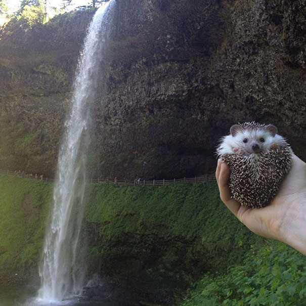 Biddy The Hedgehog Is Well Traveled