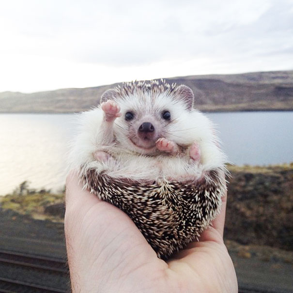 Biddy The Hedgehog Travels with their owner