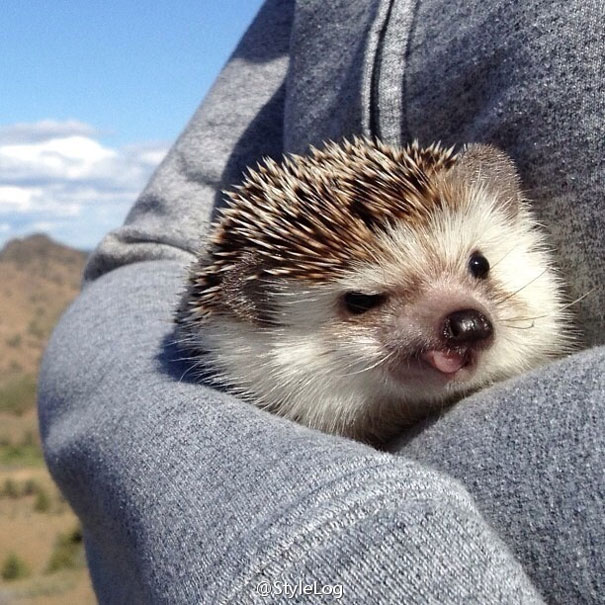 Cute little Biddy the Hedgehog travels