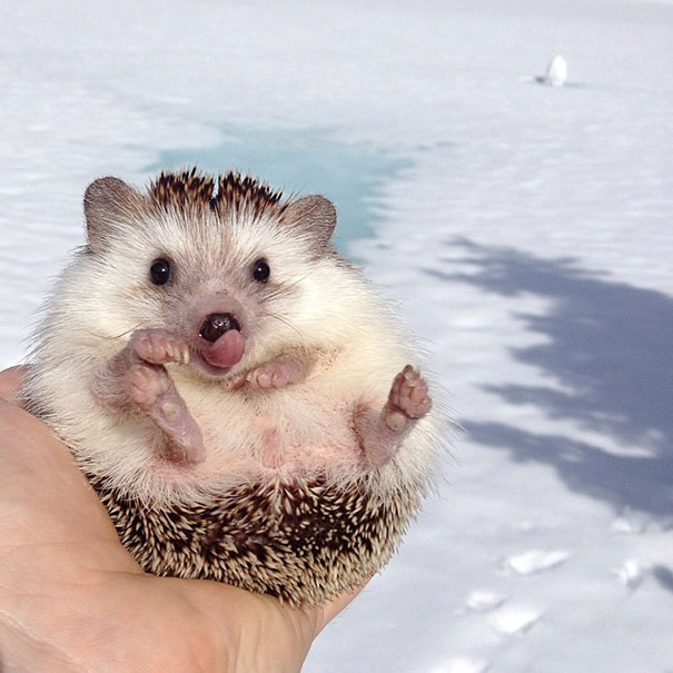 Cute little Biddy the Hedgehog