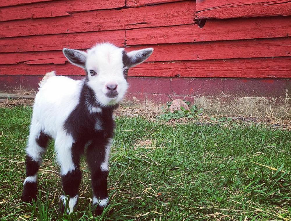 Dean the Goat