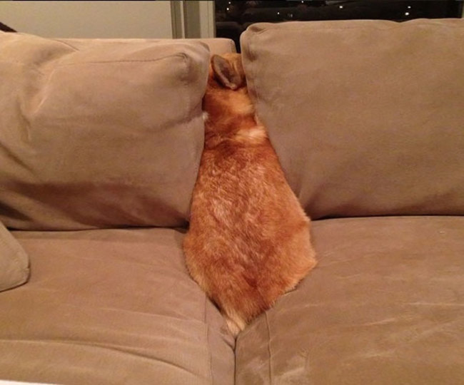 Dog Hiding Between Two Couch Cushions