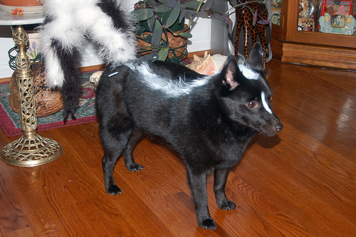 Dog as Skunk Halloween Costume