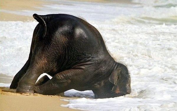 Elephant Face Plant Fail