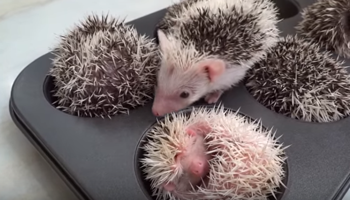 Hedgehogs Napping in Muffin Tins