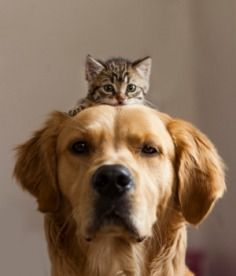 Kitten-Riding-On-Dogs-Head.jpg