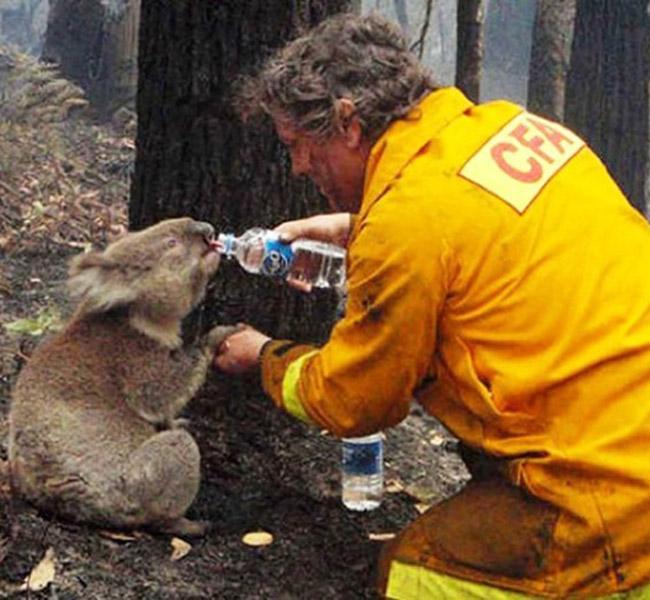 Brush Fire Koala