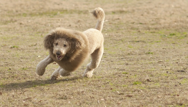 Lion Haircut on a Dog