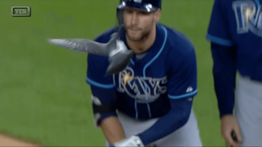 Pigeon swoops over Kiermaier at first base screenshot.png
