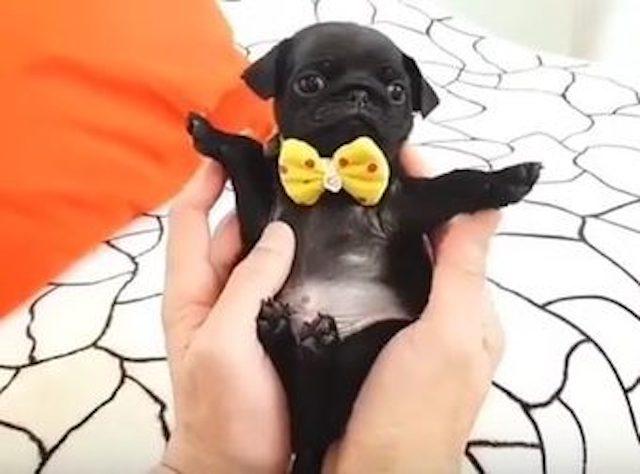 Pug Wearing a Bowtie