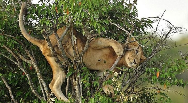 Silly Clumsy Lion Fail
