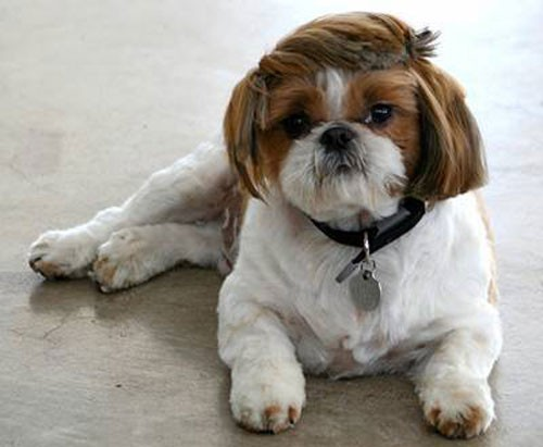 Super Funny Dog Haircut - Hilarious