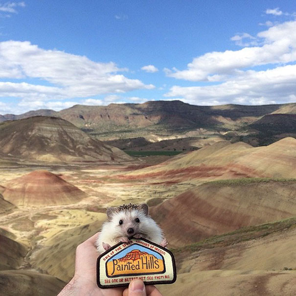 This Adorable Hedgehog Travels