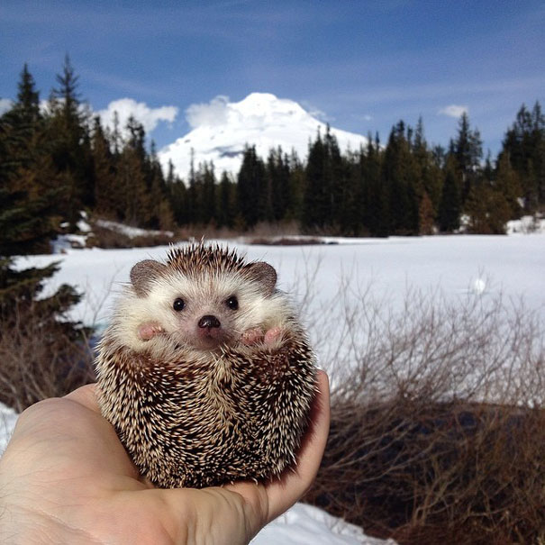 Traveling Hedgehog