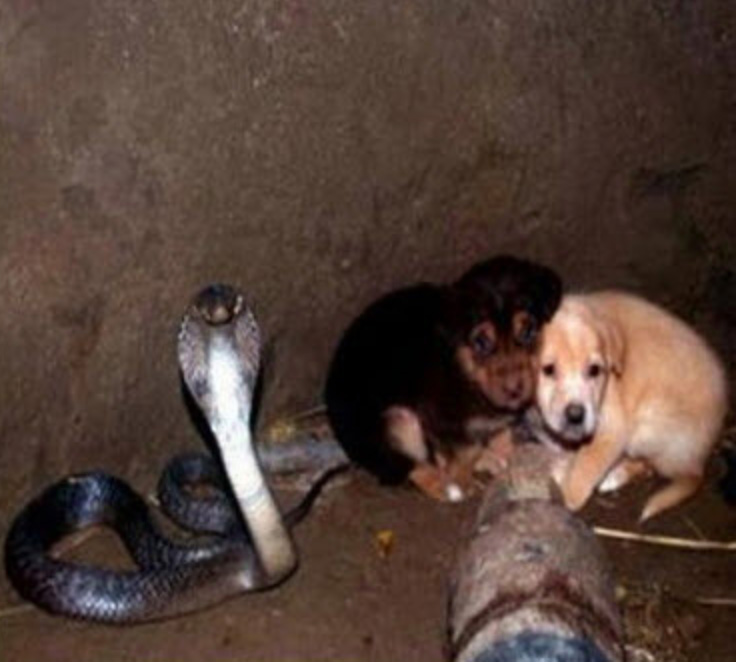 Venomous Cobra protects puppies