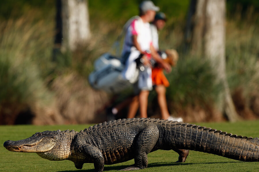 alligator golf.jpg