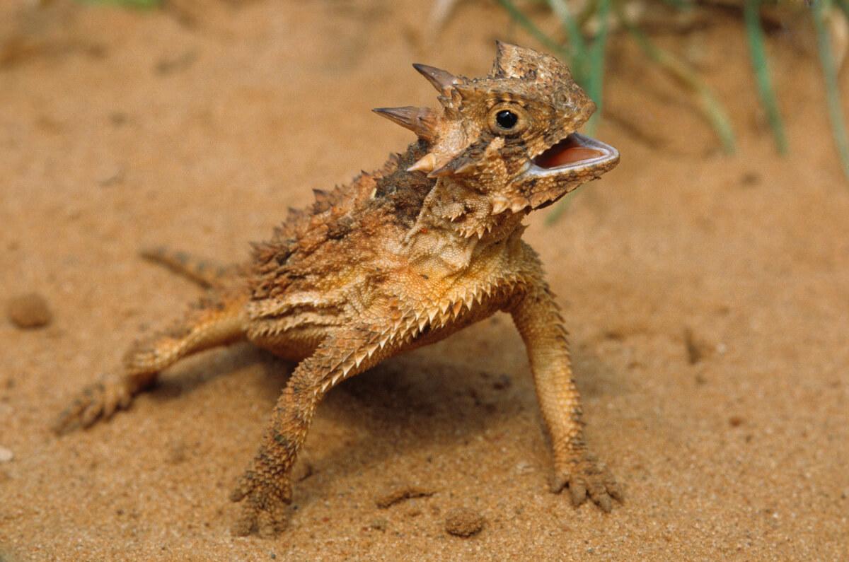 animal-powers-horned-lizard.jpg